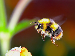 More flowers and pollinator diversity could help protect bees from parasites