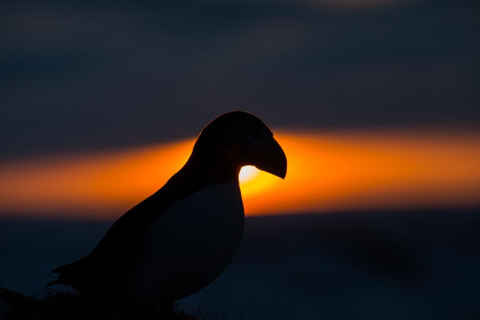 Lundefugl i solnedgang