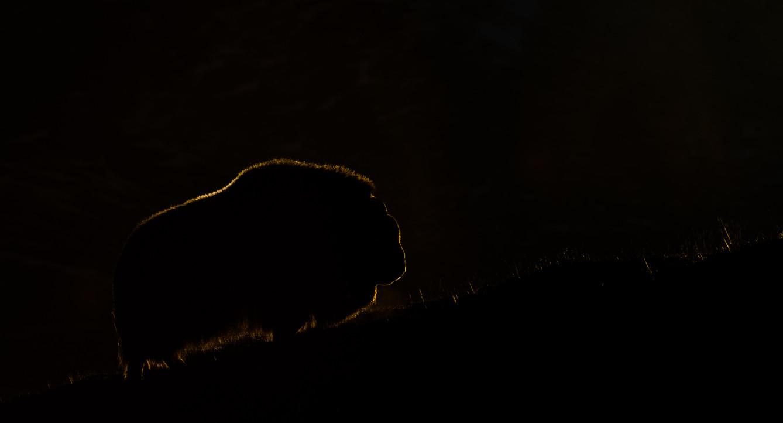 Moskus i dagens siste lys