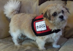 Meet Bentley the St. John Ambulance Therapy Dog