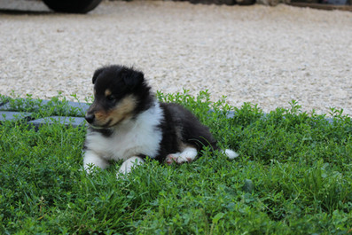 Chiots Colleys 5 semaines 047.JPG