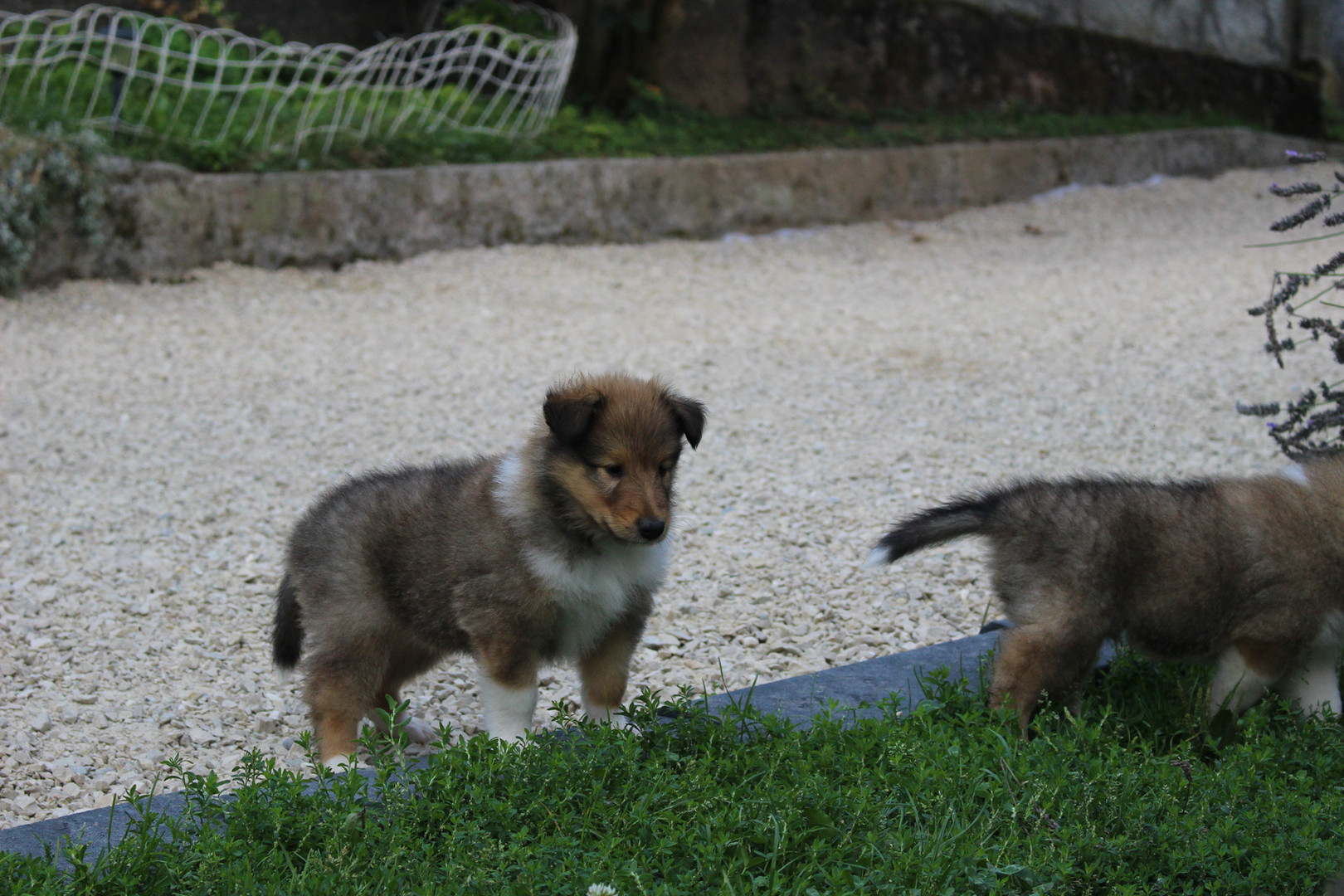 Chiots Colleys 5 semaines 033.JPG