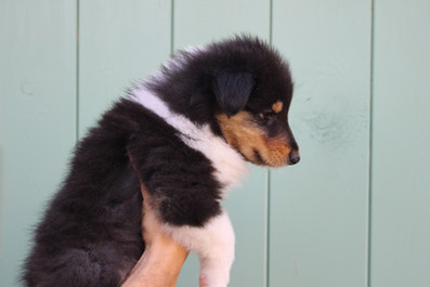 Chiots Colleys 5 semaines 103.JPG