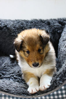 Chiots Cherry 5 semaines + Olivia 6mois