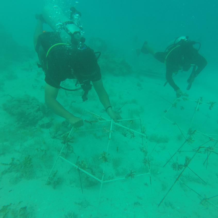 coral transplanting
