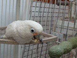 Jules a Goffin cockatoo