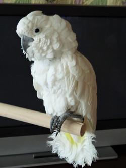 Lewie Lewie, Umbrella Cockatoo