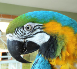Cosmo, Blue and Gold Macaws