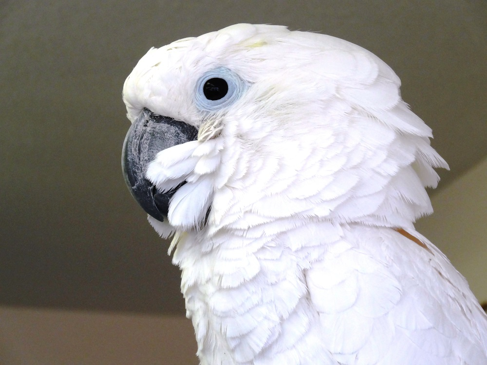 Ginger Umbrella Cockatoo
