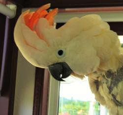 Bill our Queen, Moluccan Cockatoo