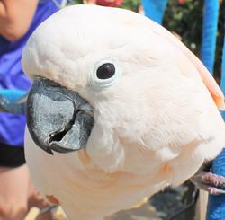 Jesse, Moluccan Cockatoo