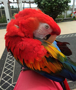 scarlet macaw parrot boarding vancouver island