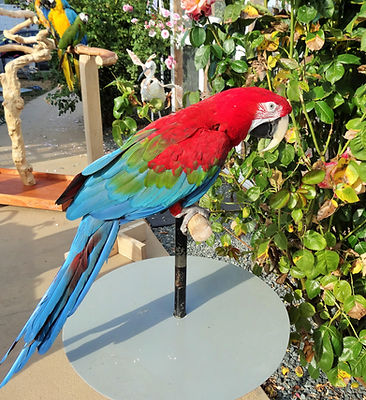 green wing macaw parrot boarding vancouver island