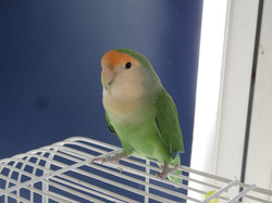Freddie lovebird