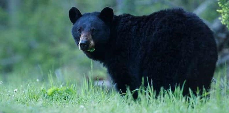 01132841_black-bear.jpg