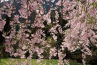 しだれ桜fin.jpg