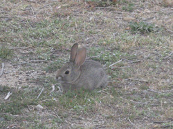 IMG_7114 cottontail rabbit.JPG