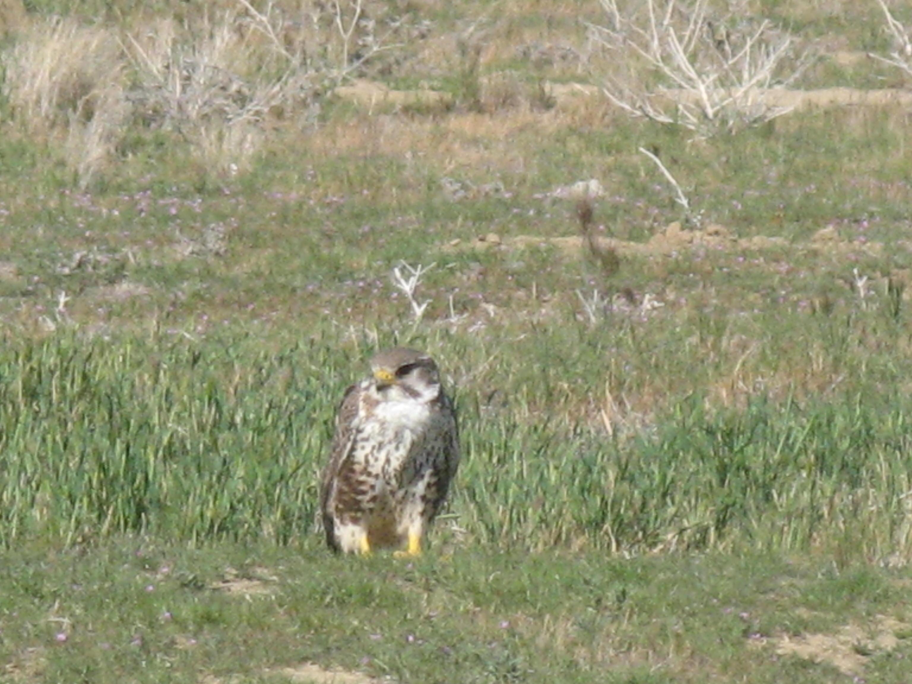 IMG_7121 - Prairie Falcon.JPG