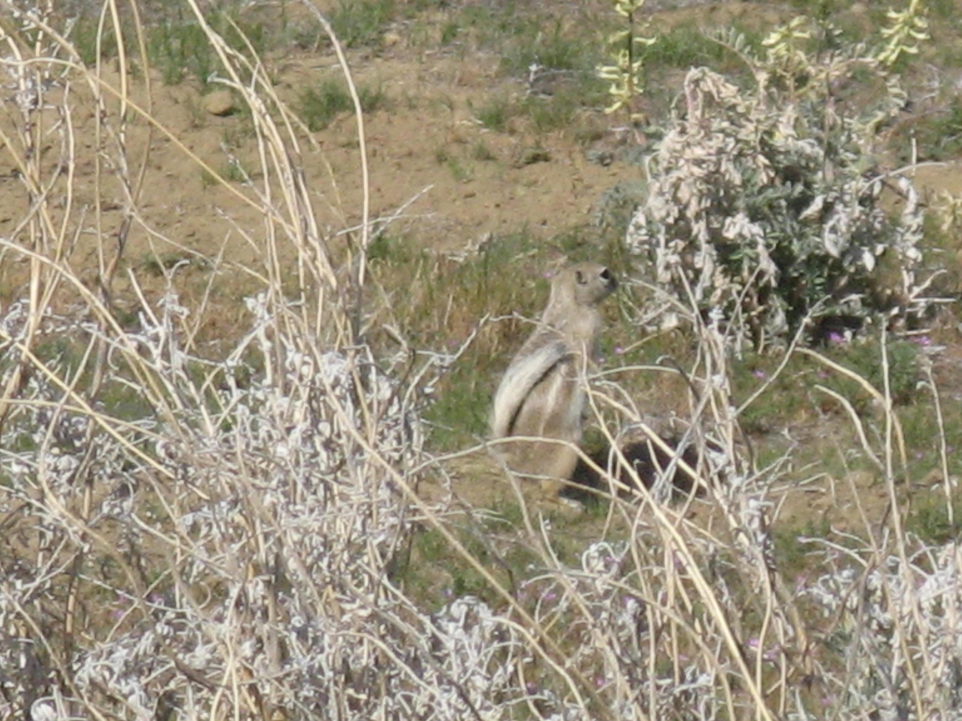 IMG_7127 San Joaquin antelope squirrel.JPG