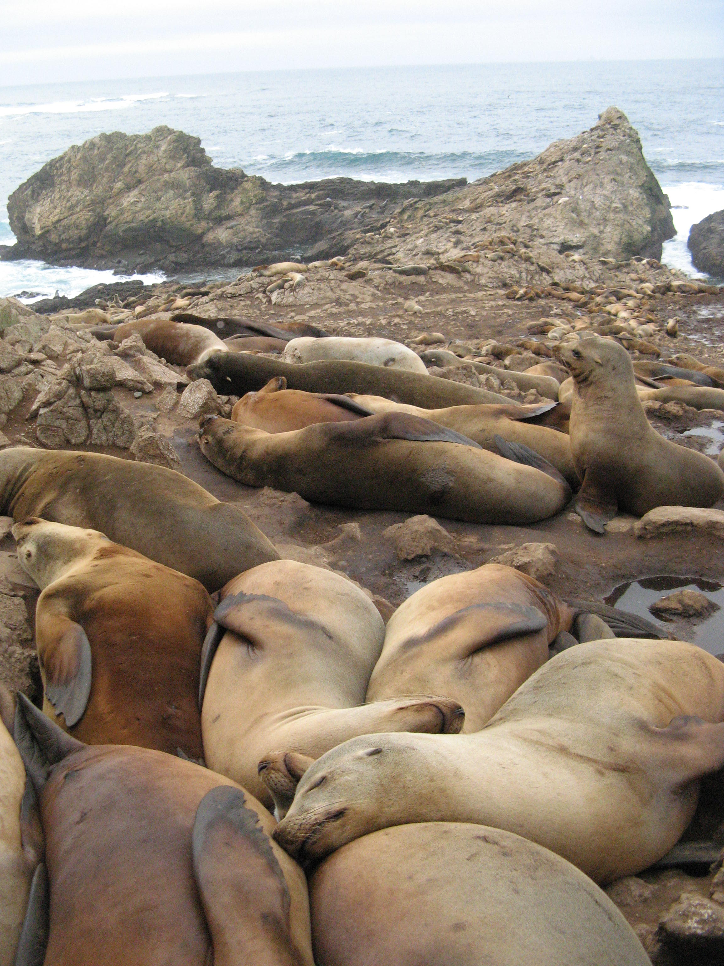 IMG_6511 California sea lions.JPG