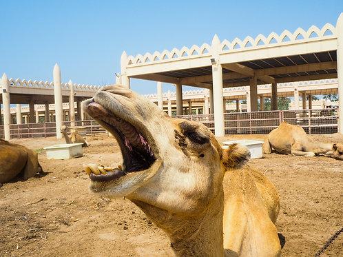 camel teeth | ऊंट के दांत