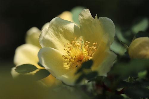 rose-5094723_1920.jpg