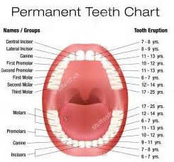 Each Tooth Is Associated With An Organ In The Body – Pain In Each Tooth Can Predict Problems In Cert