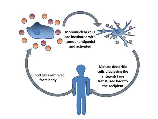 Dendritic cell (DC)