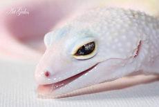 Art Geckos ® Diablo Blanco Leopard Gecko