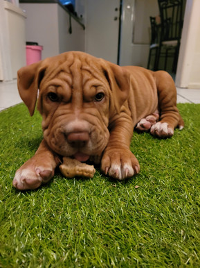shar pei puppies for sale