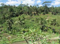 Campos de arroz en Bali, Indonesia