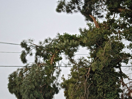 Should I Have a Tree That is Near My Electrical Line Cut Down?