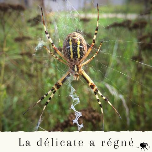 Araignée jaune jardin france.png