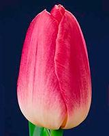 tulipdynasty.jpg