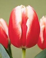 tulipleenvandermark.jpg