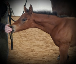 2019 filly by Iron Enterprise
