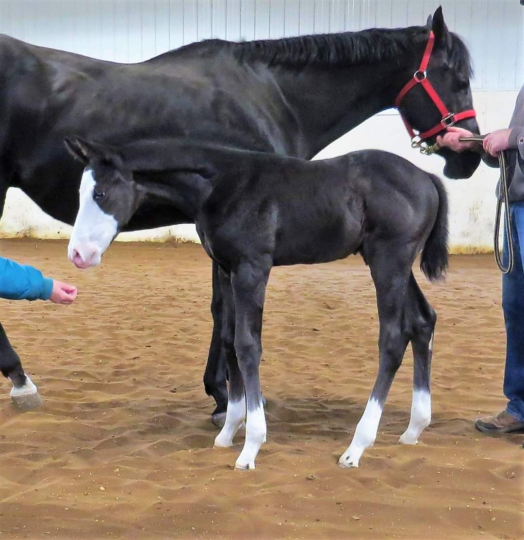 2020 The Wow Factor Colt