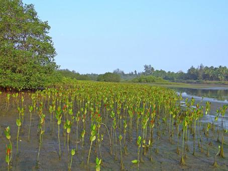 Guyana Govt to resume Mangrove Restoration Project
