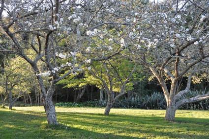 Plum trees at Lichfields.jpg