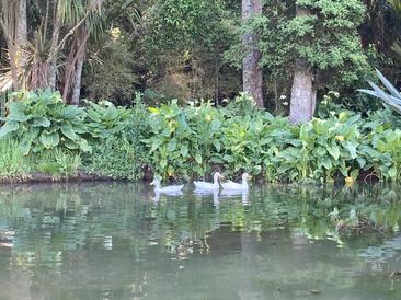 Our ducks enjoying the pond