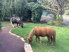 Our neighbours minature ponies