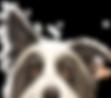 border collie profile