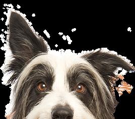 perro de mirada furtiva