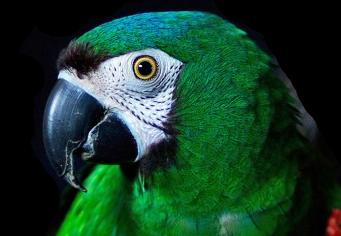 Optie papagaai