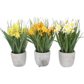Spring potted Daffodils - 3 a/s
