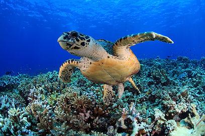 MALDIVES SEA TURTLE iStock-586697576.jpg