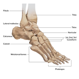 Foot skeleton - lateral view.png