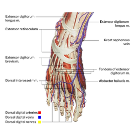 Feet - dorsal view.png