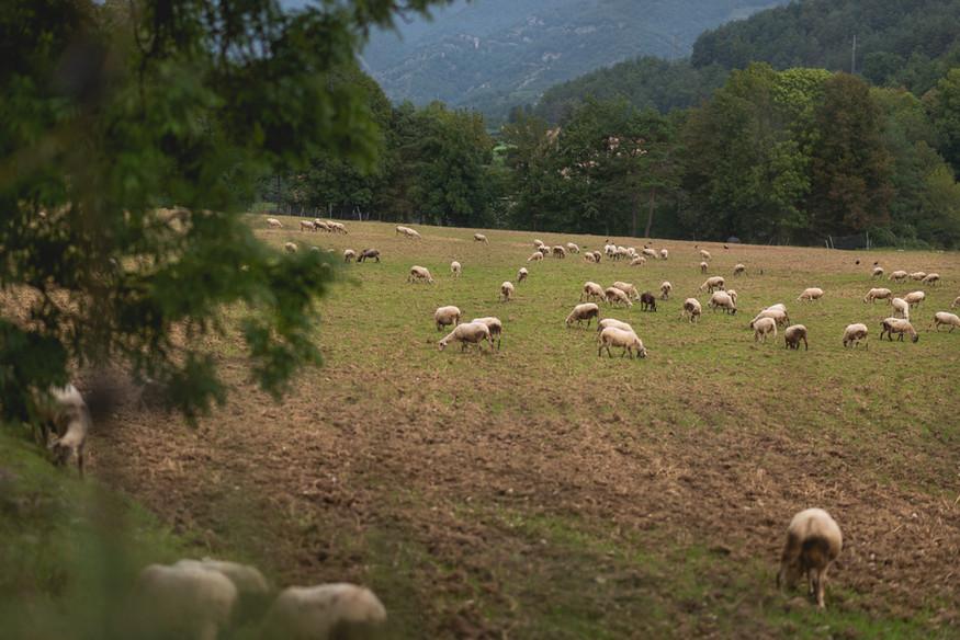 Sheep Estiula Adventure