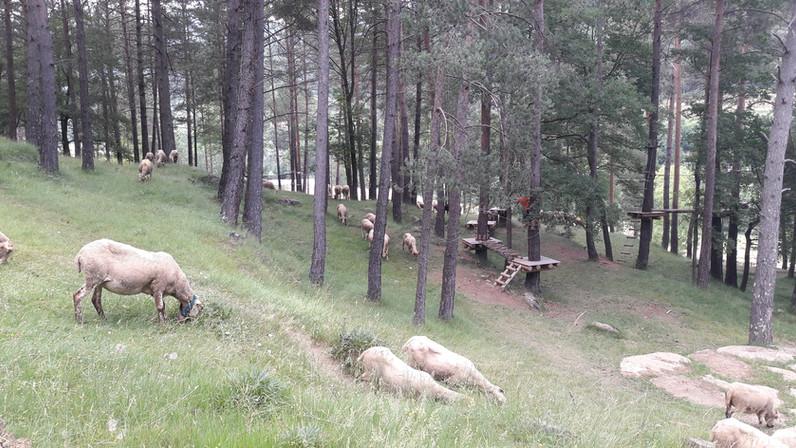 Green Circuit Sheep